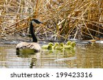 Canada Goose With A Brood Of...