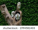 Barn Owl Family With An Adult...