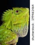 Chameleon Forest Dragon  ...