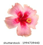 pink hibiscus flowers blooming... | Shutterstock . vector #1994739440