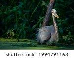 Great Blue Heron Wading Through ...