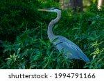 Great Blue Heron Standing In...