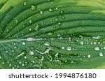 Large Green Leaf With Raindrops