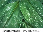 Green Lily Of The Valley Leaves ...