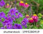 Purple Hardy Cranesbill Wild...