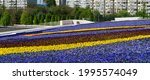 Flowerbed Of Viola Tricolor...