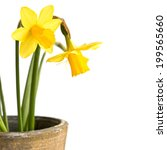 Pot Of Daffodils  Isolated On...