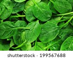 fresh green spinach leaves...   Shutterstock . vector #199567688