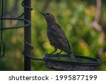 Starling Young In Bird Feeder ...
