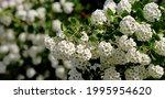 Alyssum. White Flowers On A...