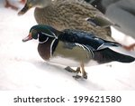 Duck In Winter Snow Carolina...