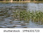 Close Up Of Reeds In Lake In...