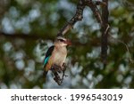 Brown Hooded Kingfisher...