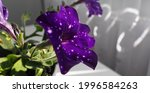Purple Flower Petunia  Night...