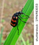 A Black Red Beetle Resting On...