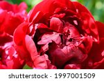 Huge Red Common Peony Flower...