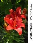 Lilium. Beautiful Flower Of...