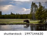 Bison Grazing Next To River In...