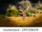 A beautiful hawk in flight....