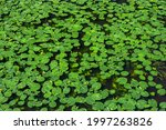 Water Lily. Lily Background ...