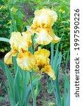 Yellow Iris In Garden....