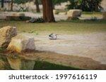 Eurasian Collared Dove Landing...