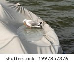 Seagull Bathing In A Freshwater ...