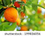 Ripe orange hanging on a tree - stock photo