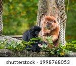 Two East Javan Langur  A Monkey ...