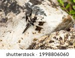 Juvenile Male Common Whitetail...