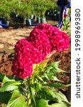 Red Bright Coxcomb In Morning...