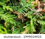 European Garden Spider  Cross...
