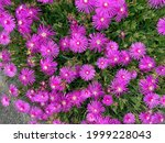 Pink Hardy Iceplant Flowers For ...