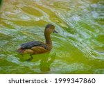 Lesser Whistling Duck Or Indian ...