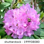 Violet Rhododendron In Bloom...