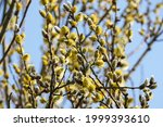 Male Flowering Catkins On A...