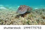 Sepia pharaonis. mollusks  type ...