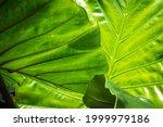 alocasia macrorrhiza black stem ... | Shutterstock . vector #1999979186