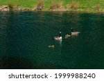 Two Canadian Geese And Six...
