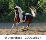 Beautiful Pinto Stallion...