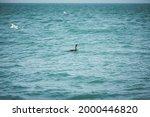 Lone Cormorant Swimming In Sea