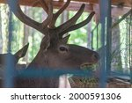 A Red Deer With Large Horns...