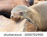 Soth African Fur Seal ...