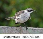 Gal Pagos Mockingbird  Mimus...
