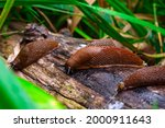 Small photo of Close up view of common brown Spanish slug on wooden log outside. Big slimy brown snail slugs crawling in the garden
