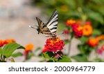 Swallowtail Butterfly On...