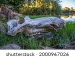 Close Up Of A Hippo Skull Lying ...