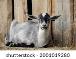 Gray Goatling Lies On The...