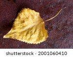 Yellow dry poplar leaf on a dark red background. Autumn concept. Close-up