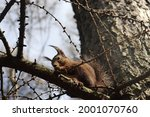 Squirrel In Early Spring Sits...